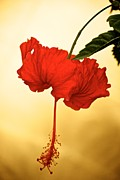 Bonita Hensley - Red Hibiscus Gold