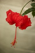 Bonita Hensley - Red Hibiscus Silver