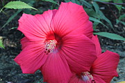 Theresa Willingham - Red Hibiscus