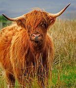 Kyloe Posters - Red Highland Cow Poster by Louise Heusinkveld
