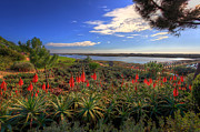Praia De Faro Prints - Red Hot Aloes Print by Nigel Hamer