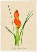 Flowers Names Framed Prints - Red Hot Poker Framed Print by Jim Emmons