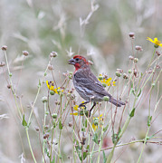 Sparrow Prints - Red House Finch in Flowers Print by Robert Frederick