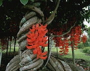 Jade Vine Prints - Red Jade Vine Print by Douglas Peebles