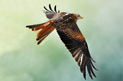 Bev  Brown - Red Kite in Flight