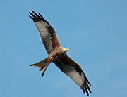 Scavengers Posters - Red kite in flight Poster by Gary Eason