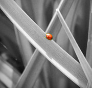 Neurotic Images Photography Posters - Red Ladybird Poster by Chalet Roome-Rigdon