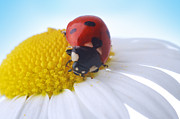 Flower Delivery Nyc Prints - Red Ladybug Print by Boon Mee