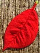 Poinsettia Leaf Posters - Red Leaf Poster by Chris Berry