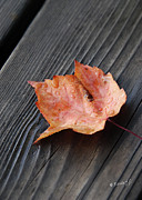 Red Leaf Posters - Red Leaf On the Dock Poster by Renee Forth Fukumoto