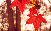 Rima Biswas - Red leaves 2