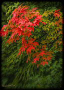 LeeAnn McLaneGoetz McLaneGoetzStudioLLCcom - Red Leaves of Fall
