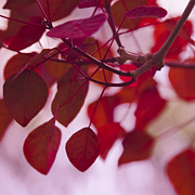 Aloha Photos - Red Leaves by Sharon Mau