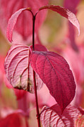 Beauty Mark Acrylic Prints - Red leaves Acrylic Print by Tommy Hammarsten