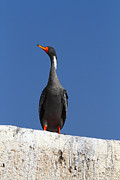 James Brunker Art - Red legged cormorant by James Brunker