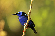 Gualberto Becerra - Red-legged Honeycreeper