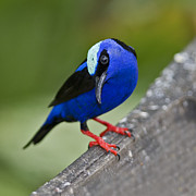 Nina Stavlund Prints - Red-legged Honeycreeper.. Print by Nina Stavlund