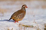 Gabor Pozsgai - Red-legged partridge...