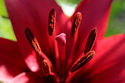 Asiatic Lilly Prints - Red Lily Print by Kenny Glotfelty