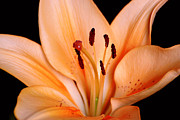 Lilly Originals - Red Lily by Tommy Hammarsten
