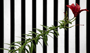 Alfredia Mealing - Red Lily with Stripes