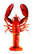 Lobster Framed Prints - Red Lobster - Full Body Seafood Art Framed Print by Sharon Cummings