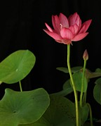 Featured Sculpture Metal Prints - Red Lotus Metal Print by Dodie Ulery