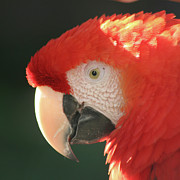 Bob and Jan Shriner - Red Macaw