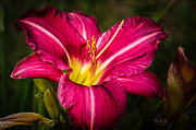 Floral Metal Prints - Red Magic Daylily Metal Print by Bob Orsillo