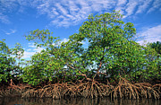 Mangrove Forest Metal Prints - Red Mangrove East Coast Brazil Metal Print by Pete Oxford