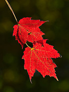 Photomanipulation Photo Prints - Red Maple in Fall Print by ABeautifulSky  Photography