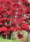 Autumn Photographs Photos - Red Maple by Janice Drew