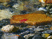 Red Leaf Posters - Red Maple Leaf in Stream Poster by Sharon  Talson