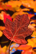 John Haldane - Red Maple Leaf on an...