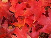 Patricia Sundik - Red Maple Leaves...