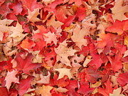 Patricia Sundik - Red Maple Leaves Grounded