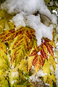 James BO  Insogna - Red Maple Leaves In The Snow