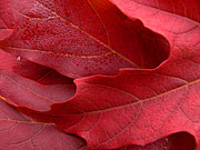 Red Maple Leaves Print by Jennie Marie Schell