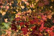 Saija  Lehtonen - Red Maple