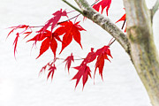 Hannes Cmarits - red maple tree