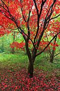 Red Maple Tree Photos - Red Maple tree in Autumn by Richard Thomas