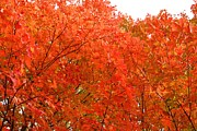 Maryland Coast Posters - Red Maples Poster by Patti Whitten