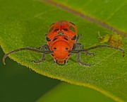 Creepy Crawly Posters - Red Milkweed Beetle Poster by Tony Beck