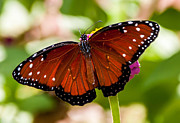 Rob Frederick - Red Monarch Butterfly