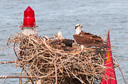 Sea Platform Prints - Red Nest Osprey Print by J H Clery