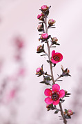 Tea Tree Flower Prints - Red New Zealand Tea tree macro Print by Ken Brown