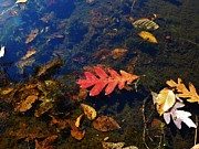 C Kirby - Red Oak Leaf on Pond