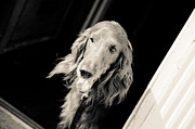 Irish Setter Posters - Red Poster by Off The Beaten Path Photography - Andrew Alexander