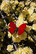 Insects Posters - Red on yellow pyracantha flowers Poster by Garry Gay