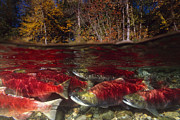 Schools Photos - Red or Sockeye Salmon unique view showing above and below river spawning fish underneath by Brandon Cole